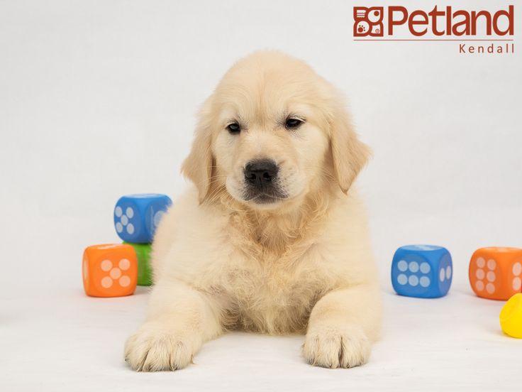 Park Art|My WordPress Blog_Golden Retriever Puppies For Sale In South Florida