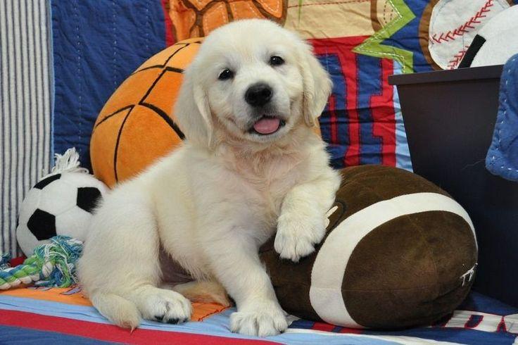 Park Art|My WordPress Blog_Golden Retriever Puppies Springfield Missouri
