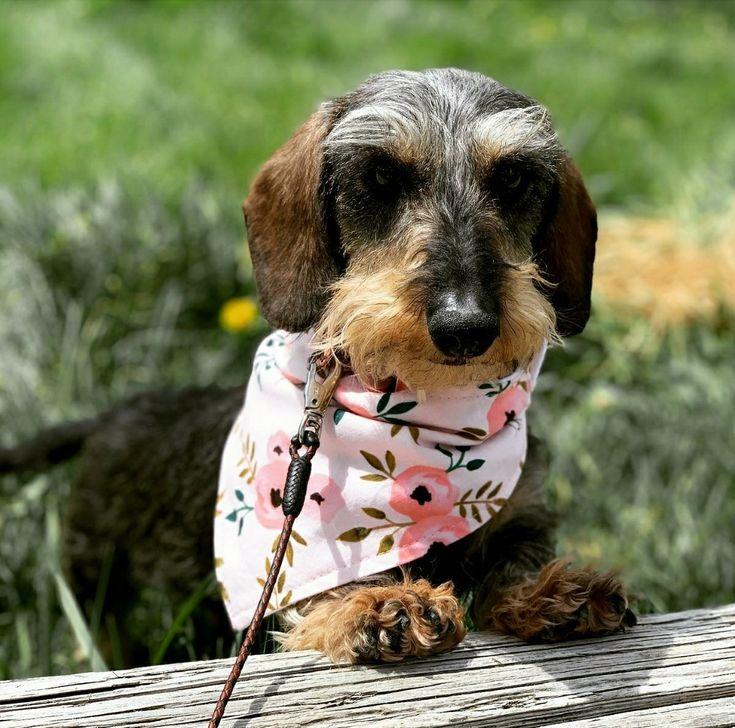 Park Art|My WordPress Blog_Wire Haired Dachshund Puppies For Sale Uk