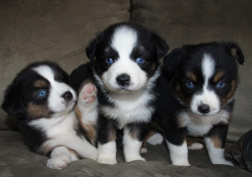 Park Art My WordPress Blog_Toy Aussie Puppies For Sale 500 Texas