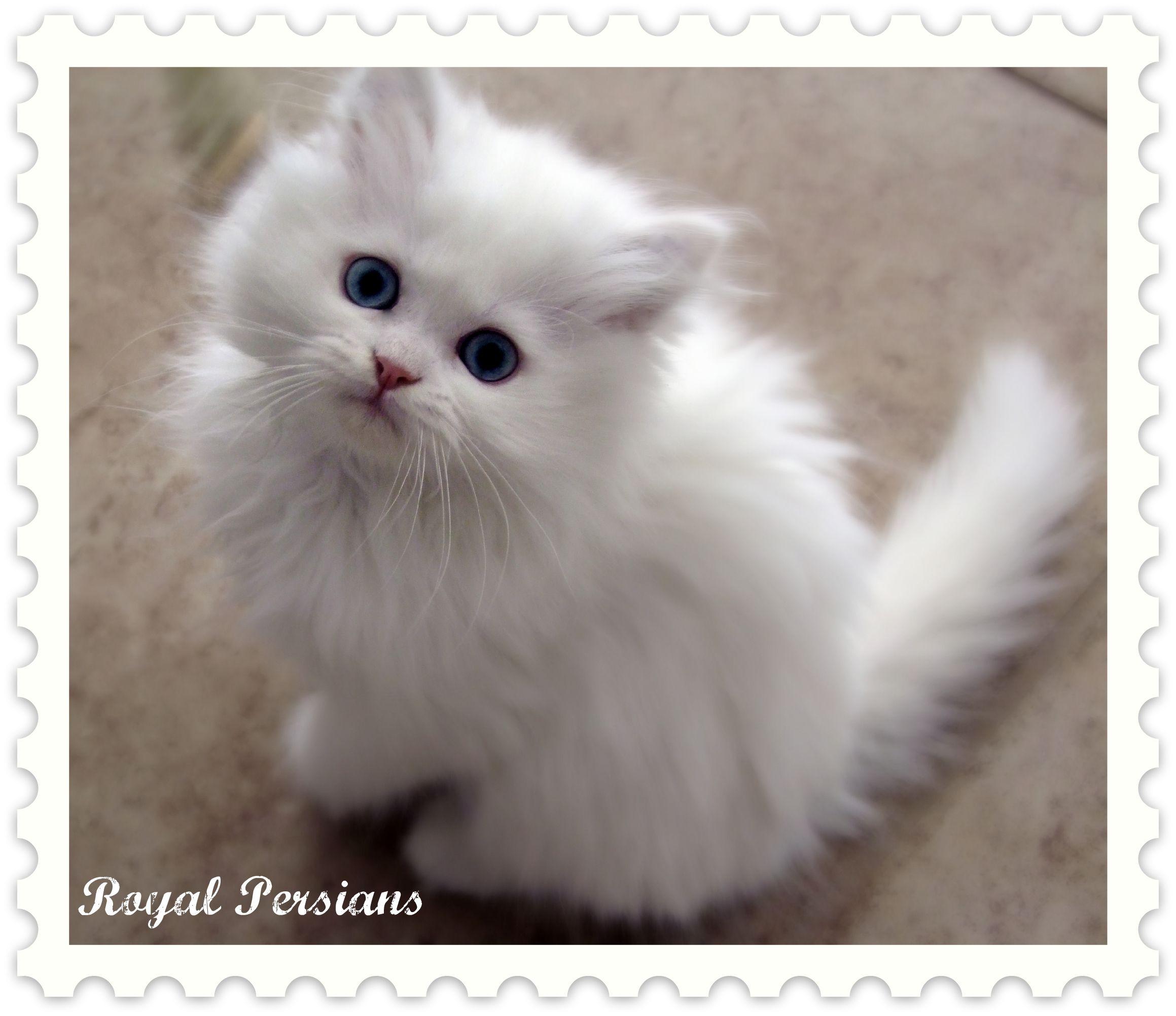 Park Art My WordPress Blog_Black Persian Kittens For Sale California