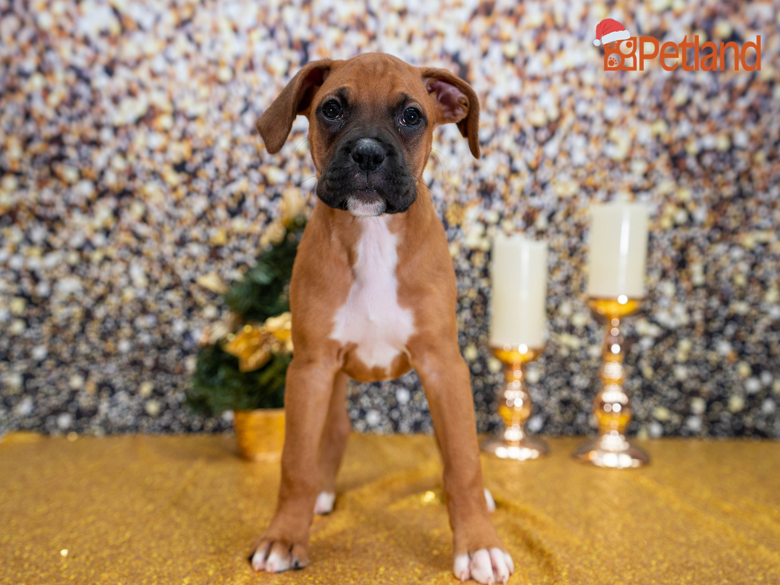 Park Art My WordPress Blog_Boxer Puppies For Sale In Florida Cheap