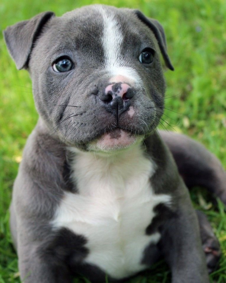 Park Art|My WordPress Blog_Pitbull Puppies For Sale 250 California