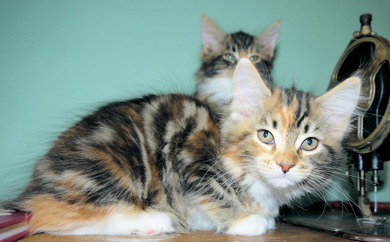 Park Art|My WordPress Blog_Maine Coon Kittens For Sale Southern Illinois