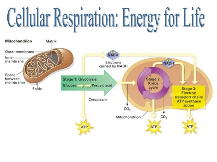 Park Art My WordPress Blog_Which Process Requires Cellular Energy Regents