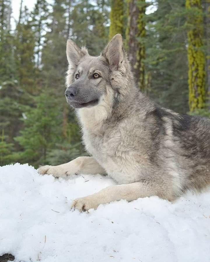 Park Art My WordPress Blog_Silver German Shepherd Puppies Price