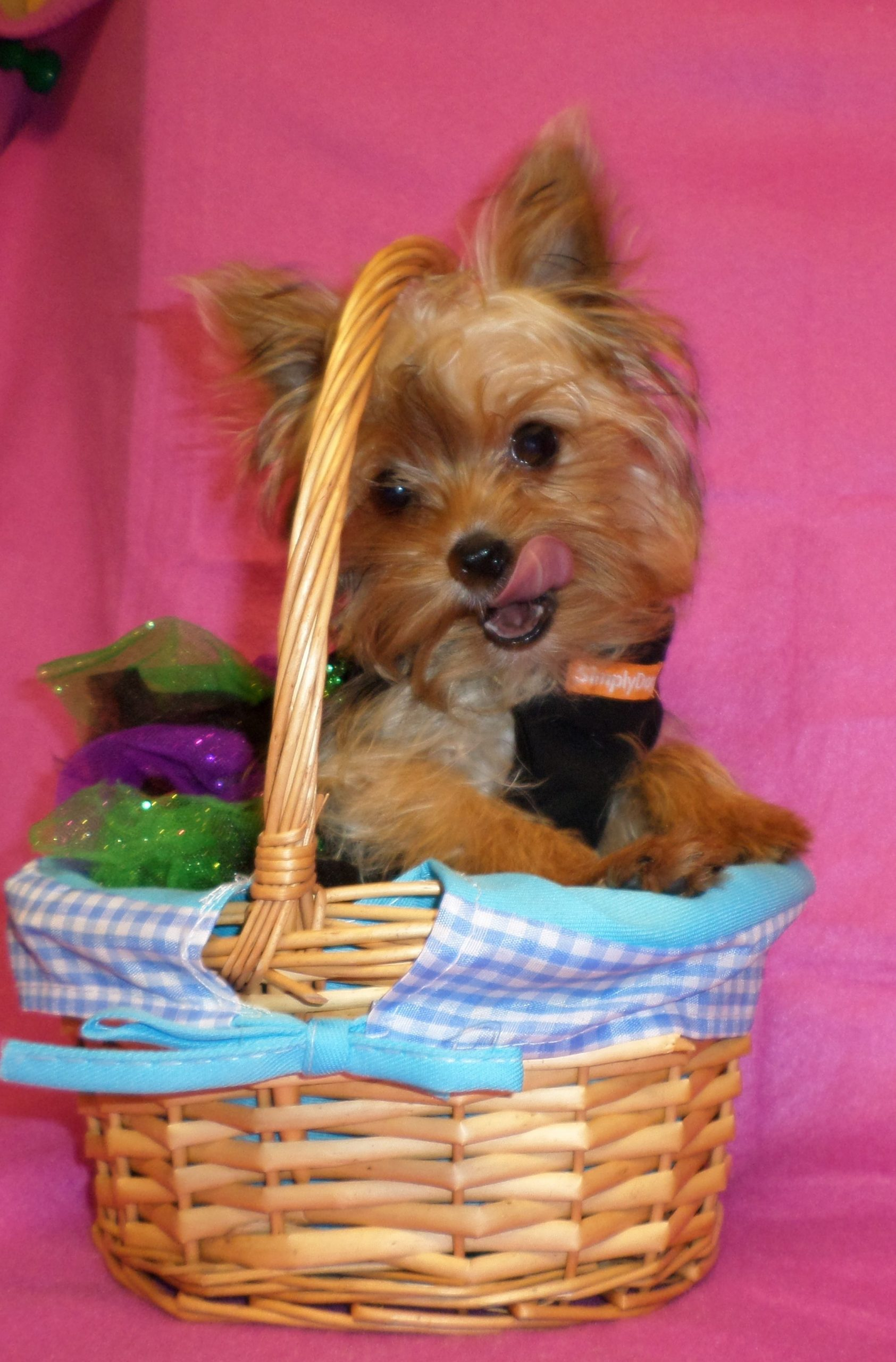 Park Art|My WordPress Blog_Boston Terrier Puppies For Sale In Panama City Florida