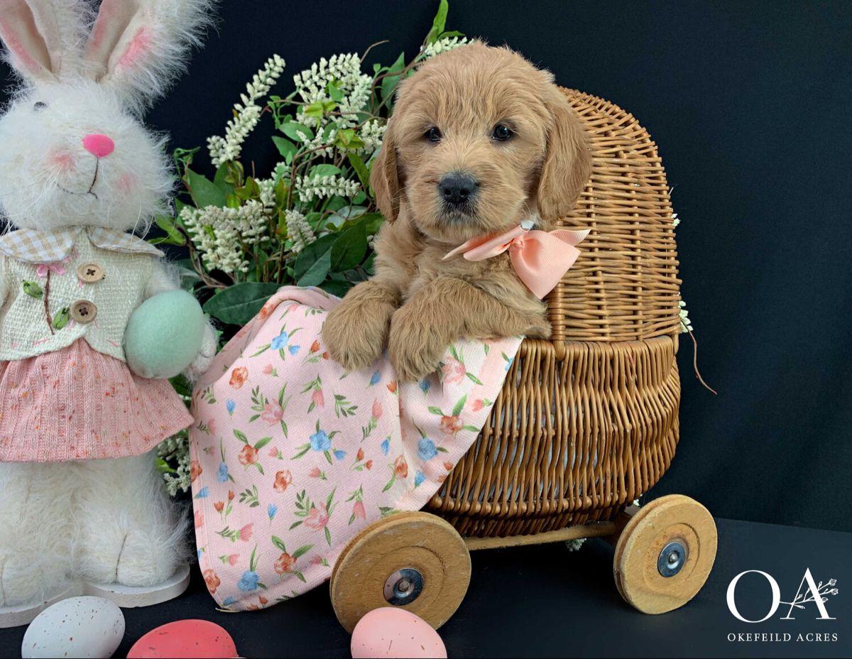 Park Art|My WordPress Blog_Mini Golden Retriever Puppies Missouri