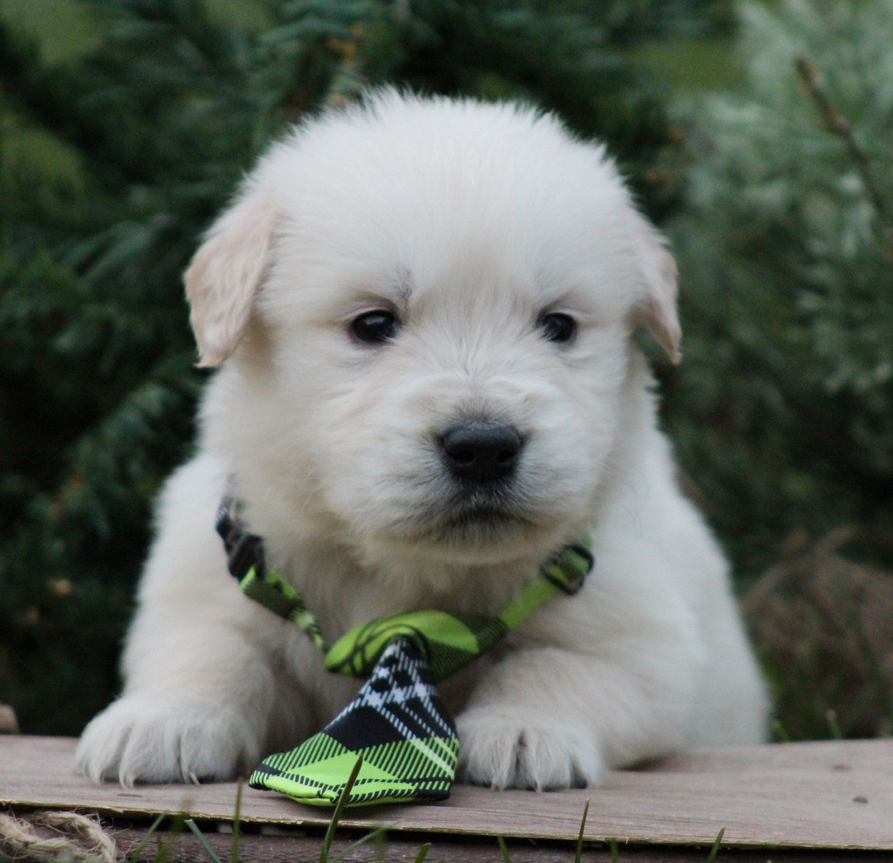 Park Art My WordPress Blog_Golden Retriever Puppies Ohio Under 500
