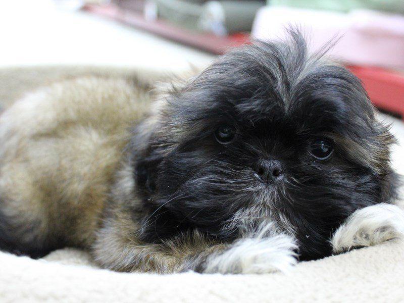 Park Art|My WordPress Blog_Shih Tzu Puppies For Sale In Gadsden Alabama