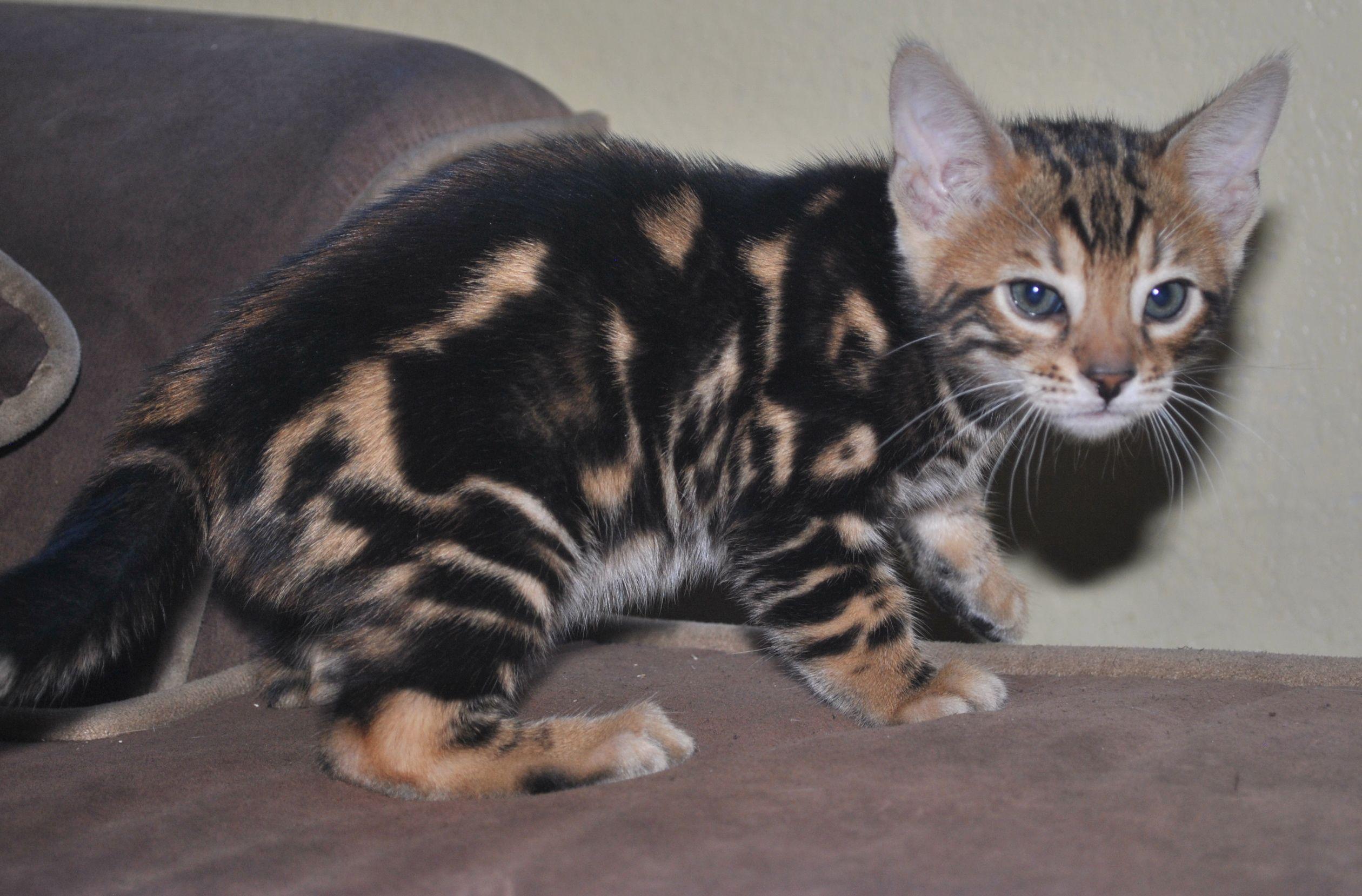 Park Art|My WordPress Blog_Bengal Kittens For Sale Utah