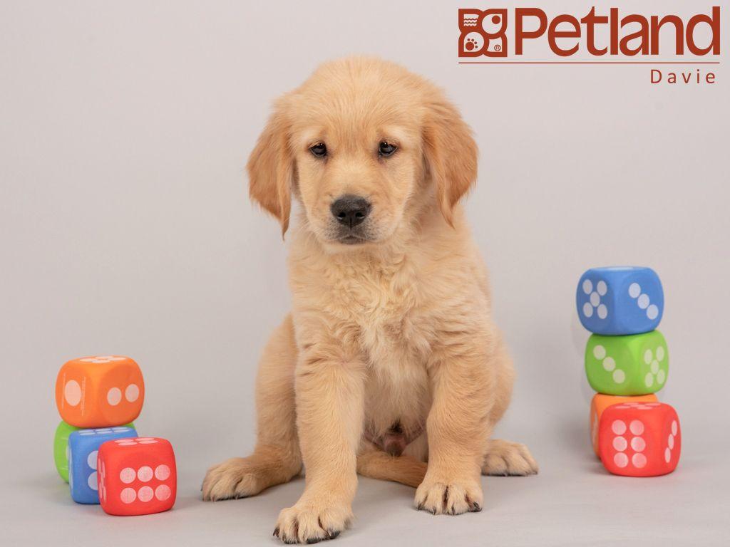 Park Art|My WordPress Blog_Golden Retriever Dogs For Sale In Florida
