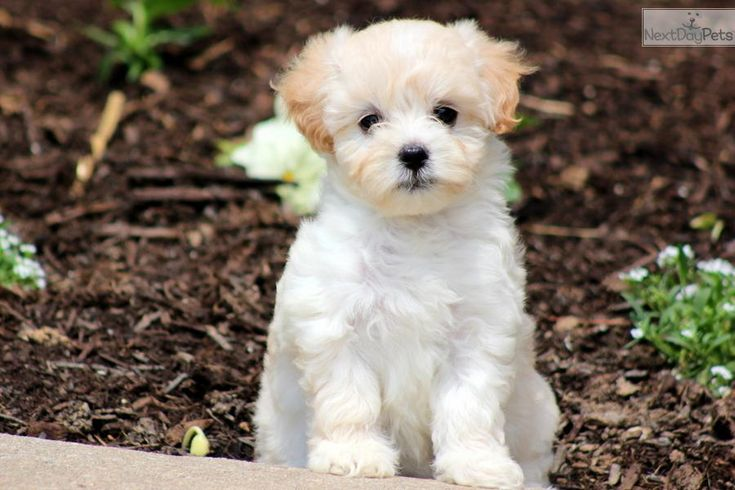 Park Art My WordPress Blog_Maltipoo Puppies For Sale In California Craigslist