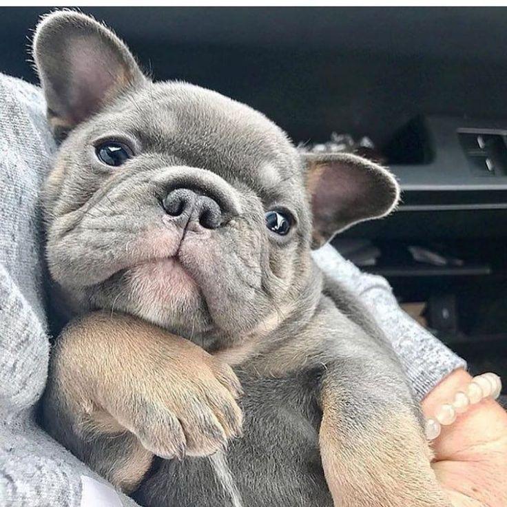 Park Art|My WordPress Blog_French Bulldog Puppies For Sale Under 1000 Ohio