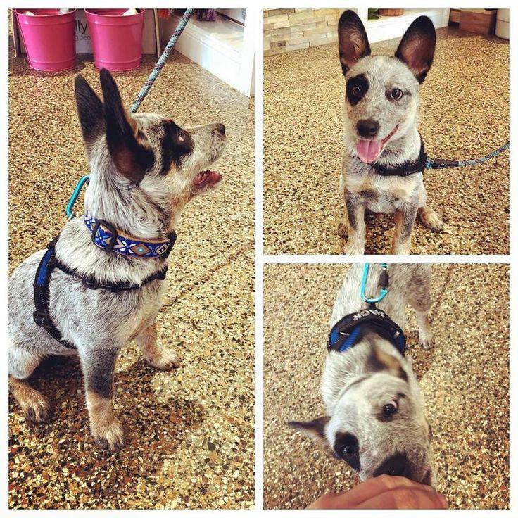 Park Art My WordPress Blog_Boston Terrier Puppies Fayetteville Nc