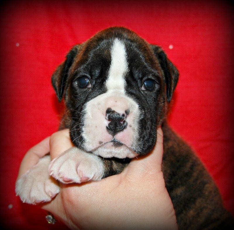 Park Art My WordPress Blog_Pitbull Puppies For Sale Northern California