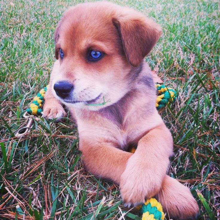 Park Art My WordPress Blog_German Shepherd Husky Mix Puppies For Sale Dallas