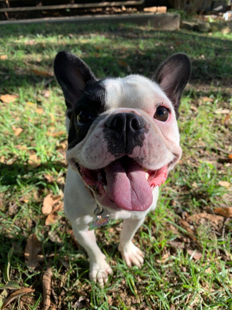 Park Art My WordPress Blog_French Bulldog Puppies Indianapolis Indiana