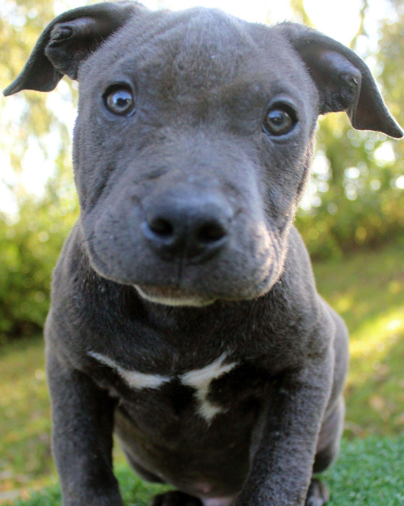 Park Art|My WordPress Blog_Blue Pitbull Puppies For Sale In Michigan
