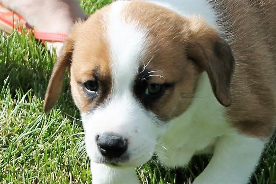 Park Art|My WordPress Blog_Corgi Puppies For Adoption In Michigan