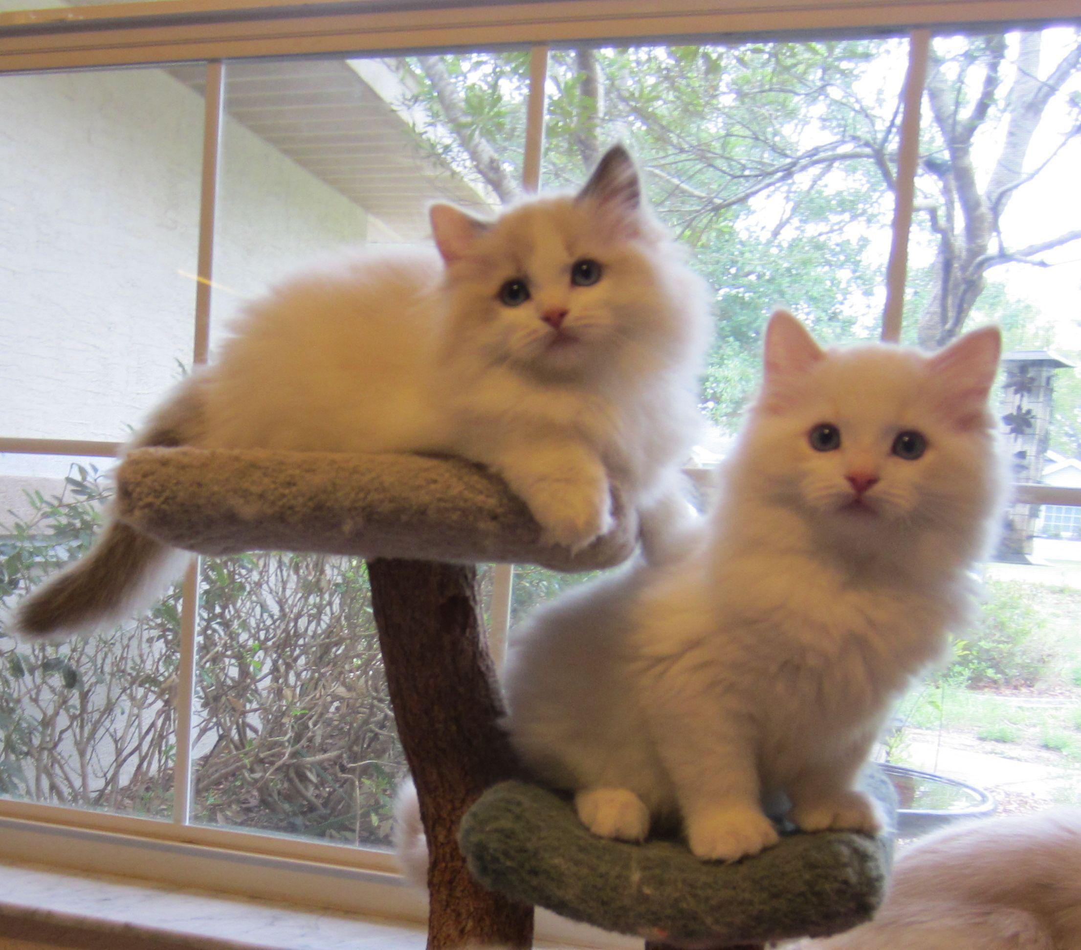 Park Art|My WordPress Blog_Ragdoll Kittens In Florida For Sale