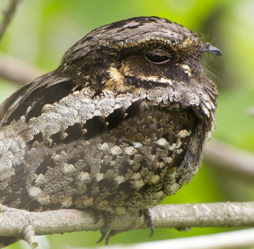 Park Art My WordPress Blog_What Noise Does A Whippoorwill Make