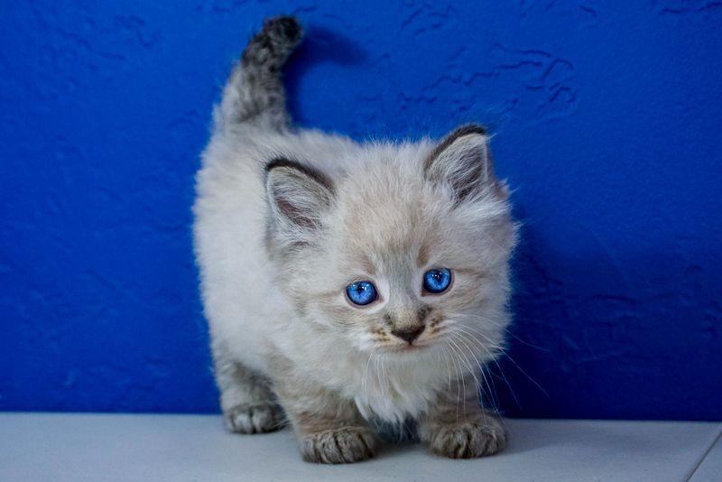 Park Art My WordPress Blog_Where Can I Get A Ragdoll Kitten Near Me