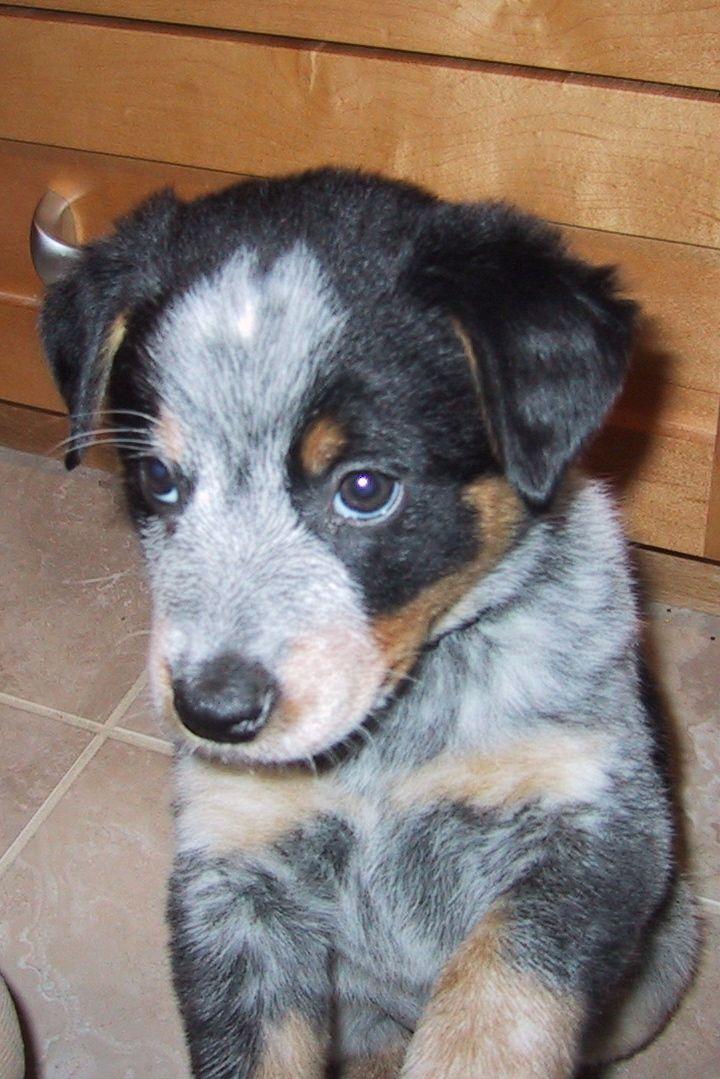 Park Art My WordPress Blog_Blue Heeler Puppies For Sale In Texas Craigslist