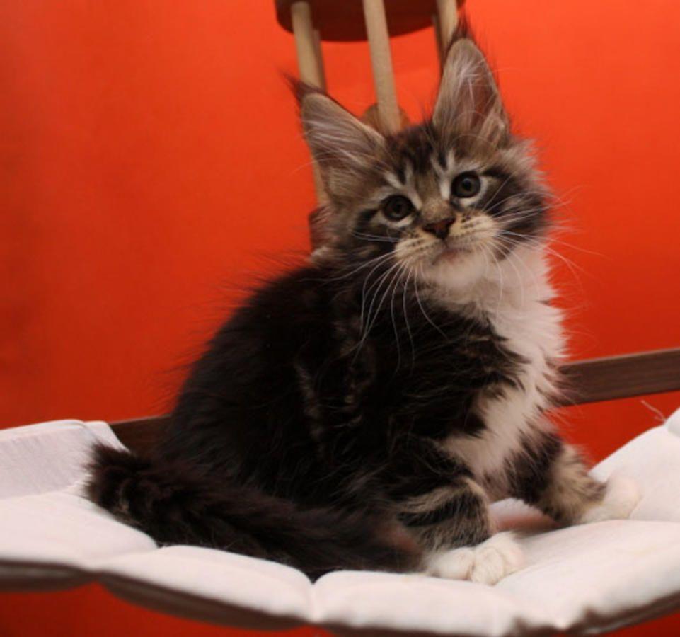 Park Art|My WordPress Blog_Maine Coon Kittens For Sale Maryland Virginia Pa