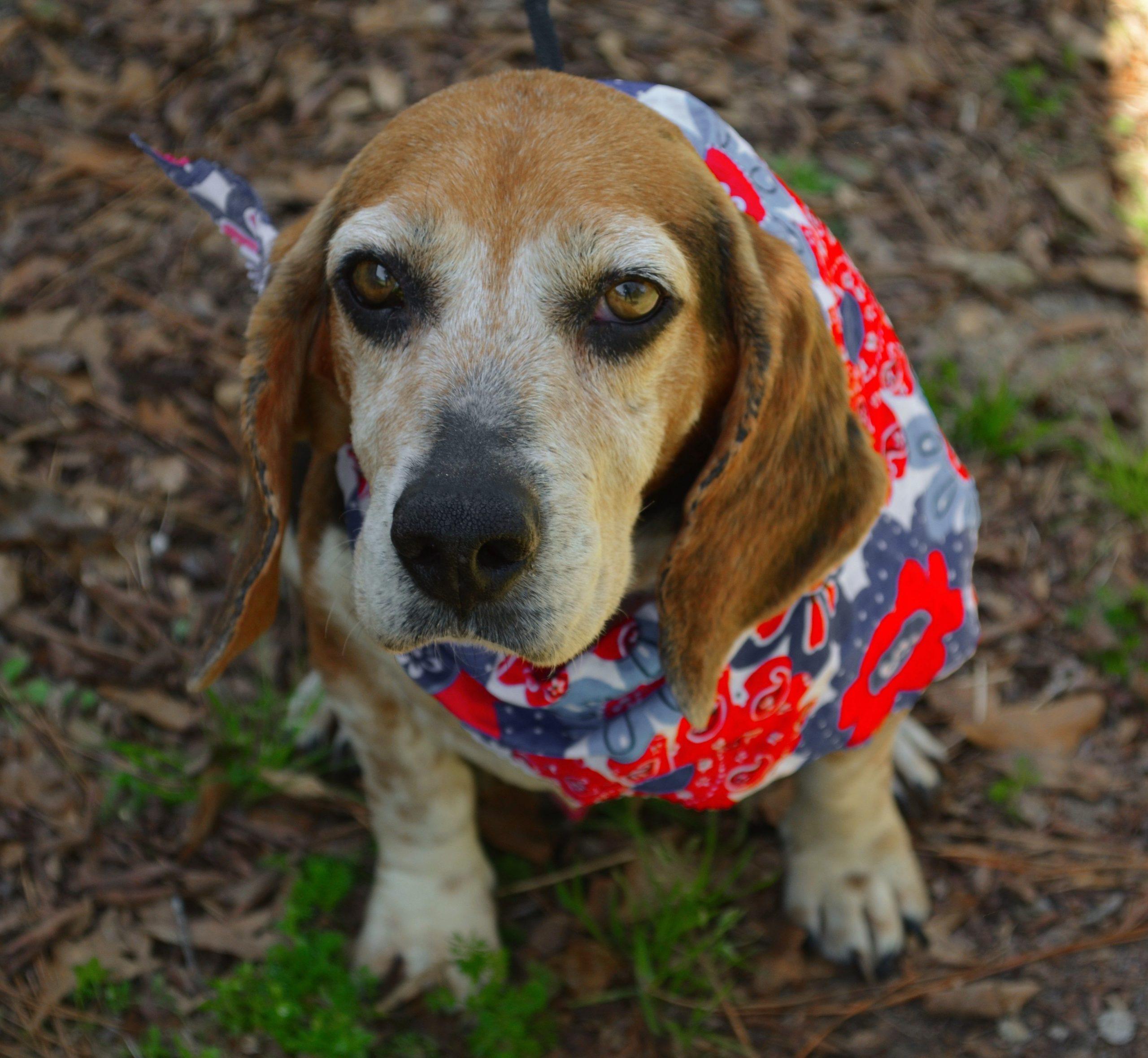 Park Art|My WordPress Blog_Beagle Puppies For Adoption In Nc