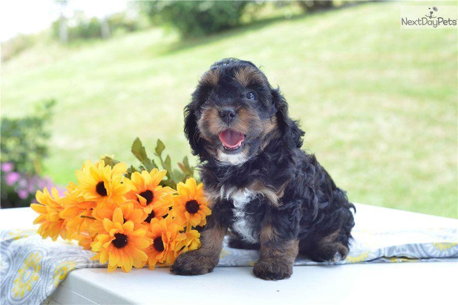 Park Art|My WordPress Blog_Maltipoo Puppies For Sale In Cleveland Ohio