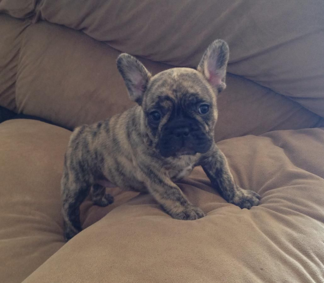 Park Art My WordPress Blog_French Bulldog Puppies For Sale In Nc Hoobly