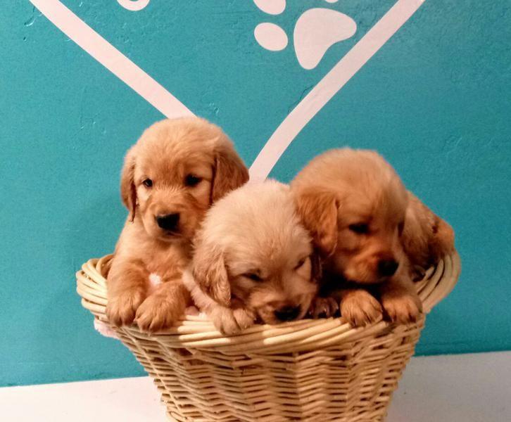 Park Art My WordPress Blog_Golden Retriever Puppies Utah Classifieds