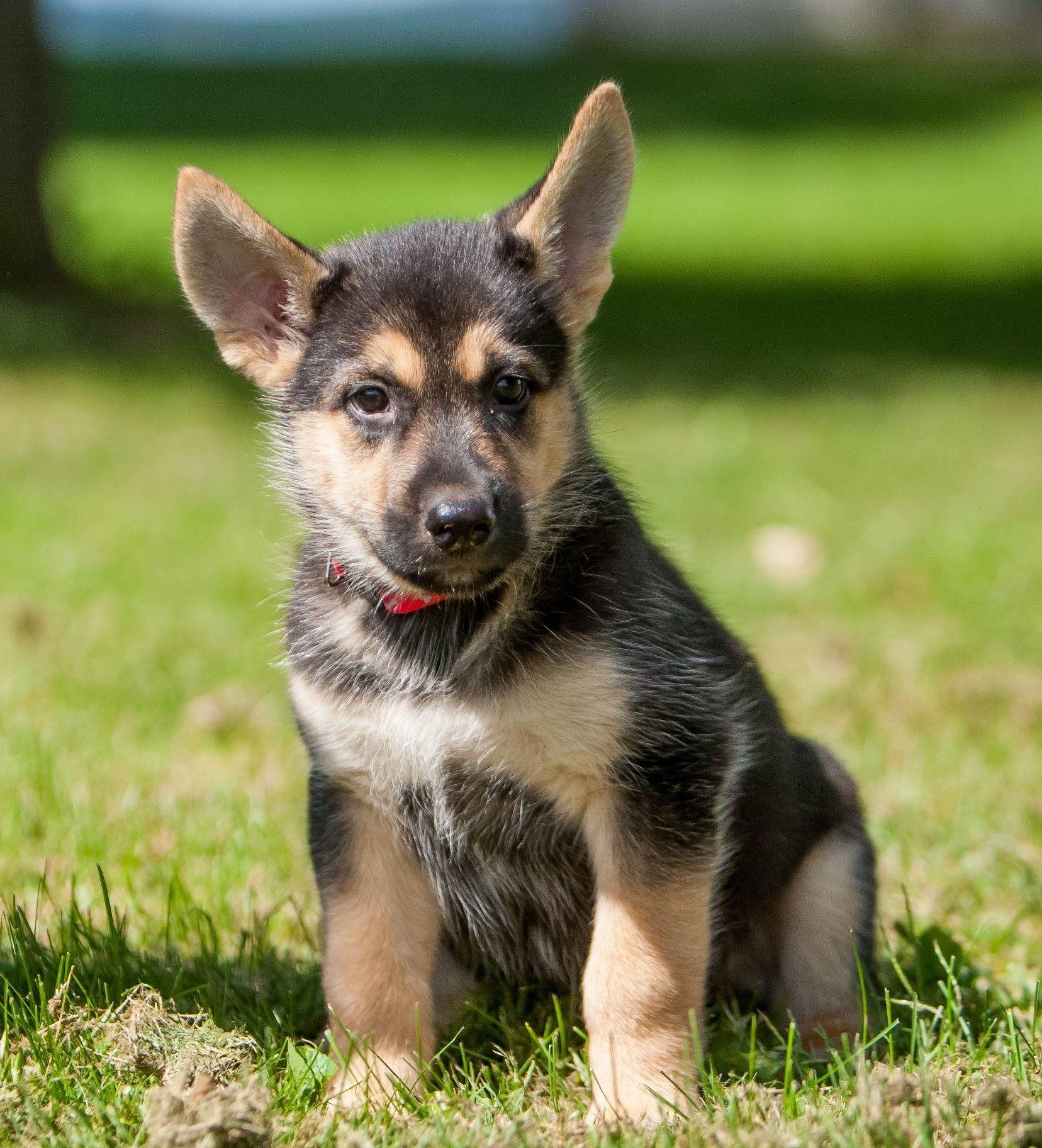 Park Art My WordPress Blog_German Shepherd Husky Mix Puppies For Sale In Ohio