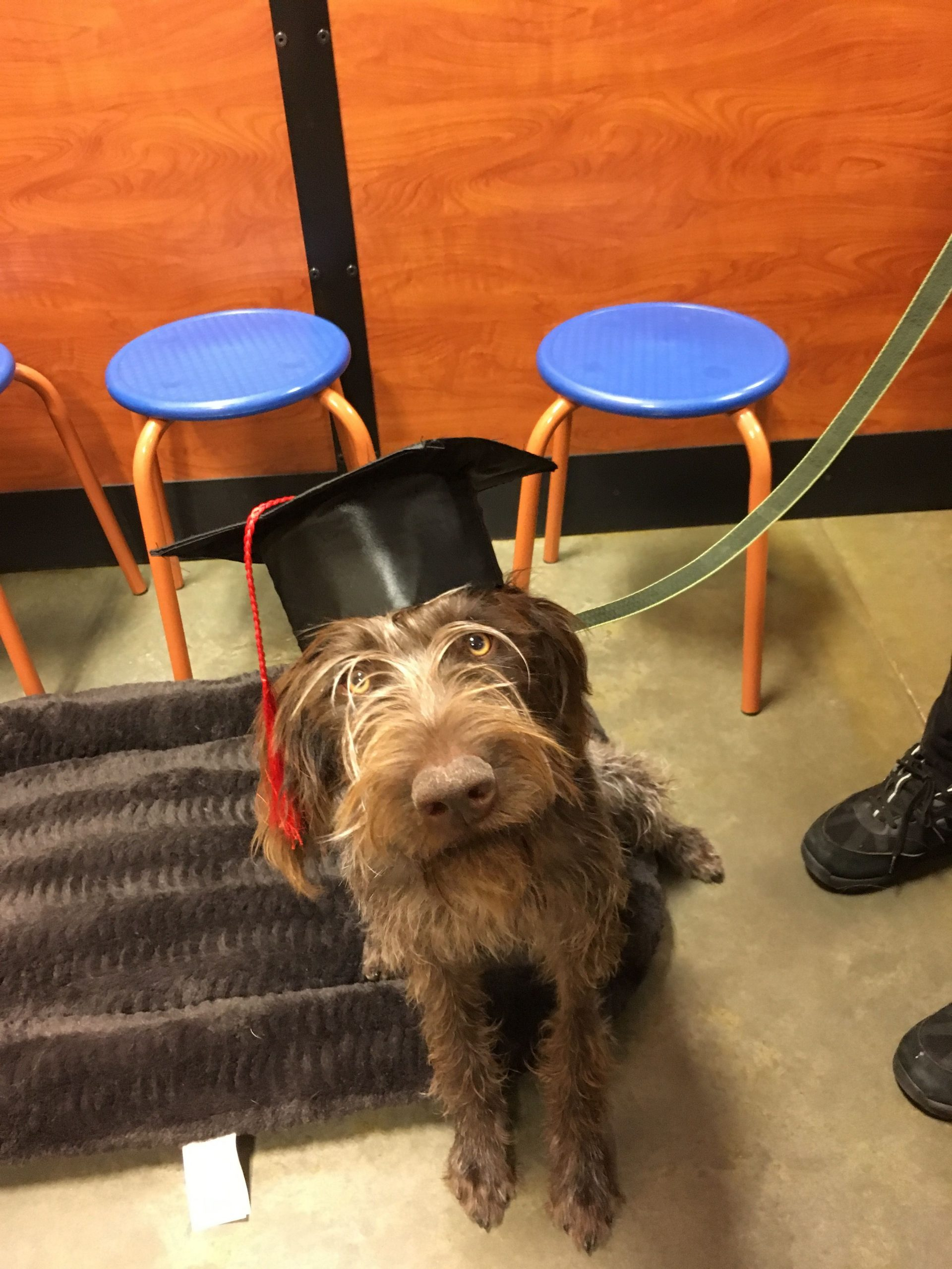 Park Art|My WordPress Blog_Wirehaired Pointing Griffon Puppies For Sale 2020 Ohio