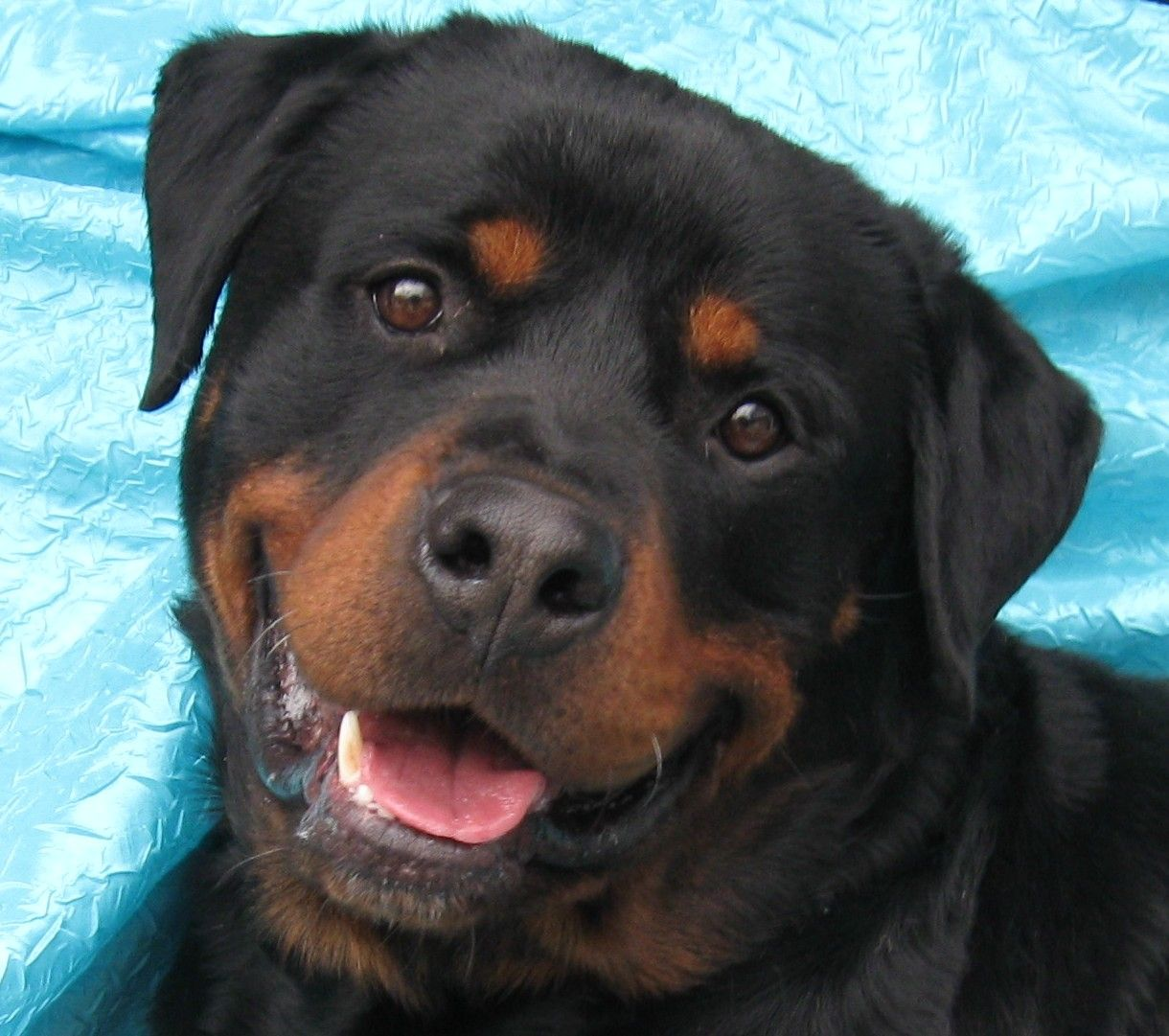Park Art My WordPress Blog_Rottweiler Puppies For Adoption In Ny