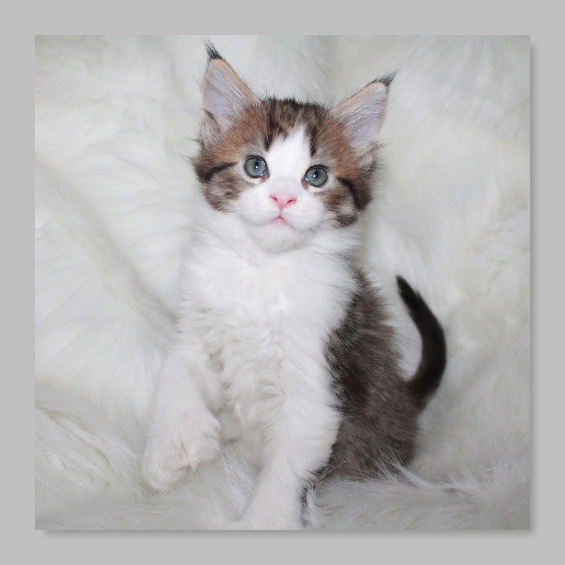 Park Art|My WordPress Blog_Maine Coon Cat For Sale Minneapolis