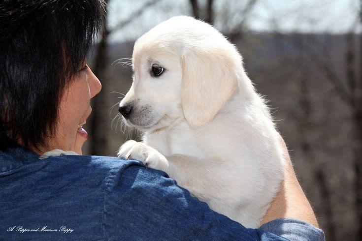 Park Art My WordPress Blog_Golden Retriever Puppies Nj Free