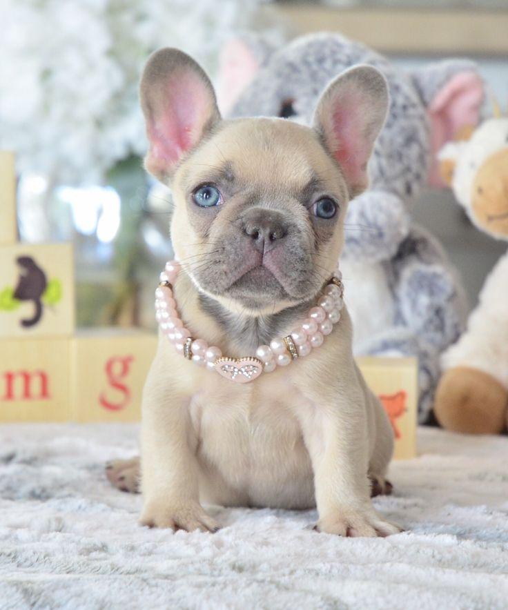 Park Art My WordPress Blog_French Bulldog For Sale Michigan Hoobly