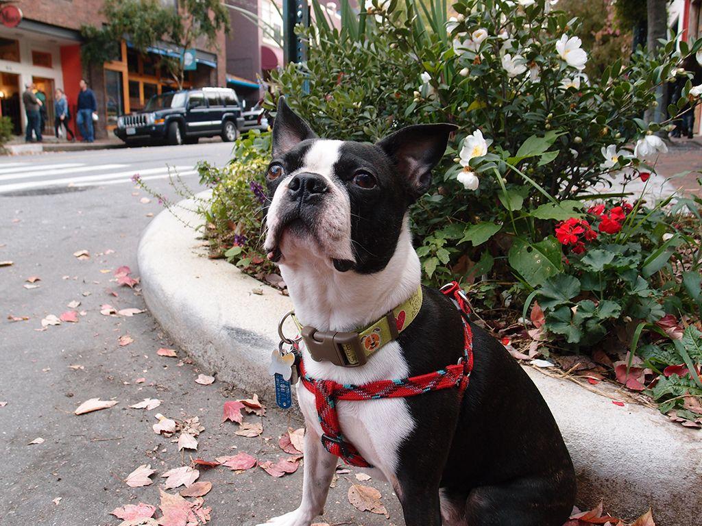 Park Art|My WordPress Blog_Boston Terrier Puppies Asheville Nc