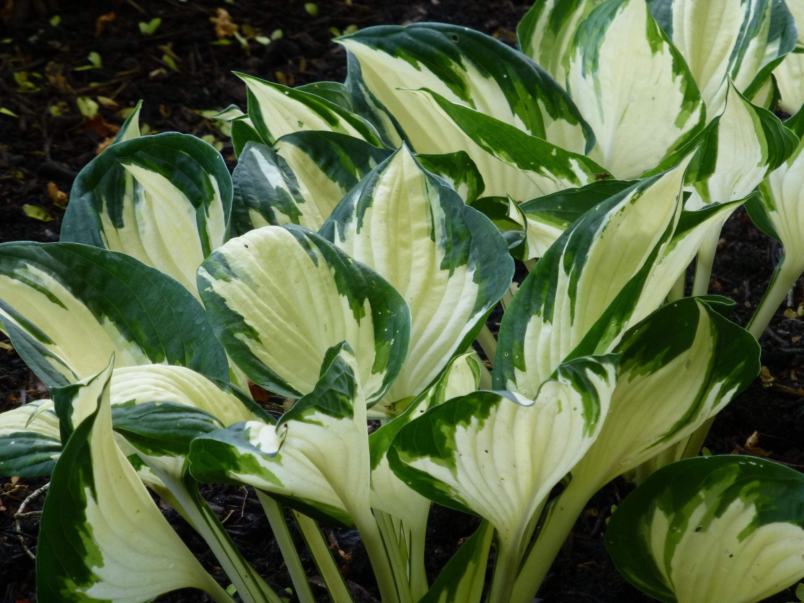 Park Art My WordPress Blog_Variegated Hosta With White Flowers