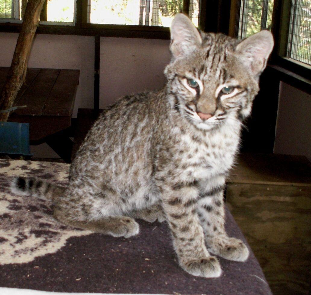 Park Art My WordPress Blog_Bobcat Kittens For Sale Uk