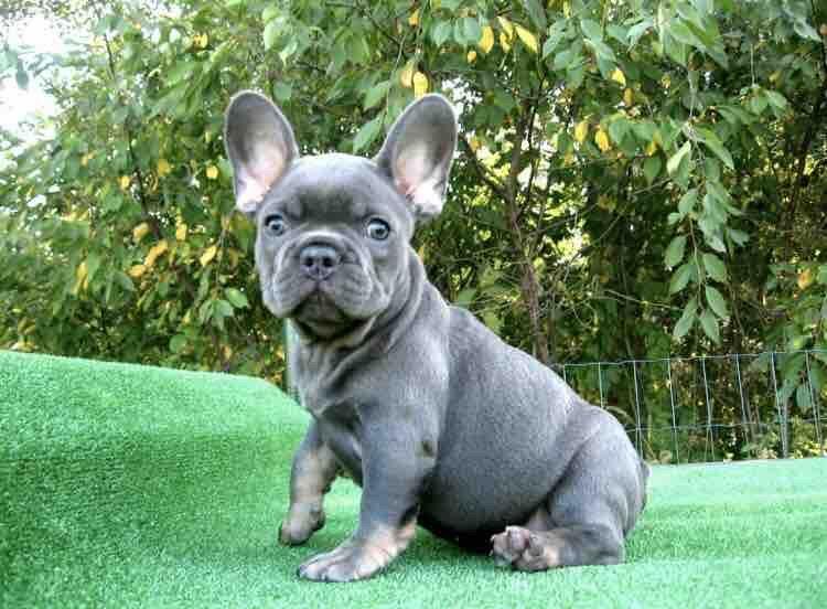 Park Art|My WordPress Blog_French Bulldog Puppies For Sale Under 1000 Ny