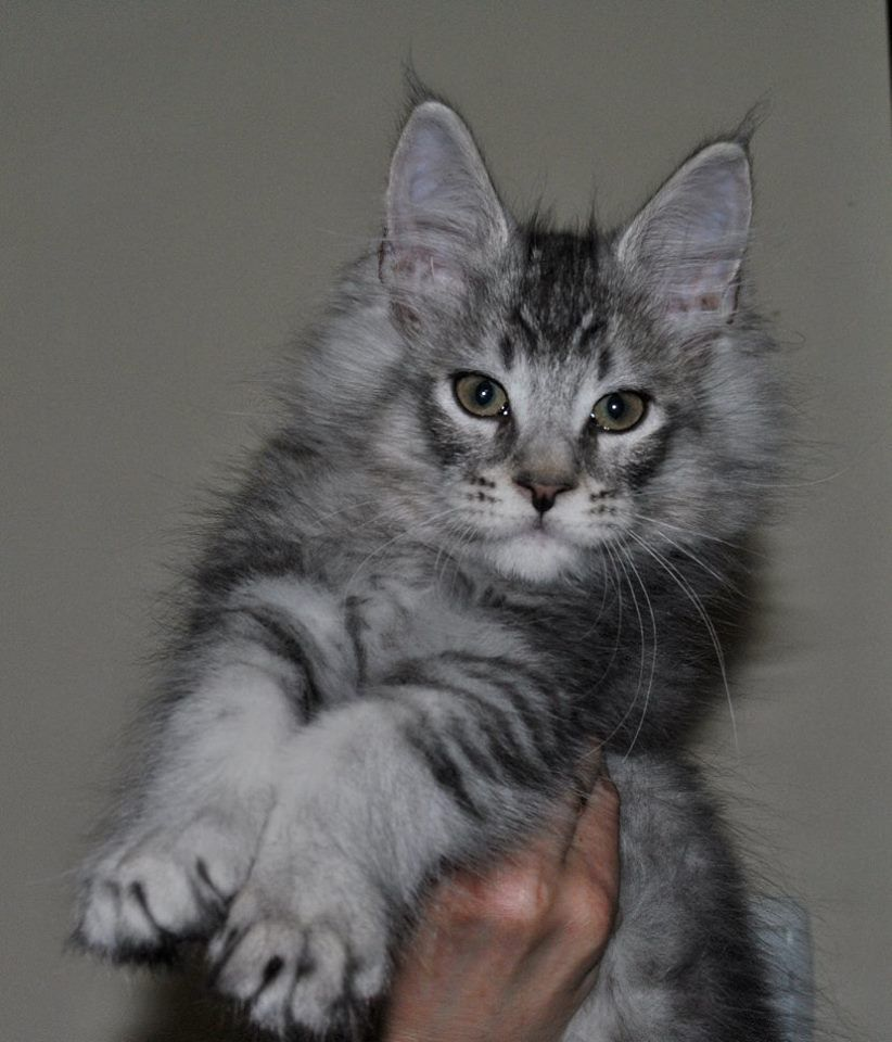 Park Art My WordPress Blog_Maine Coon Kittens For Sale Near Michigan