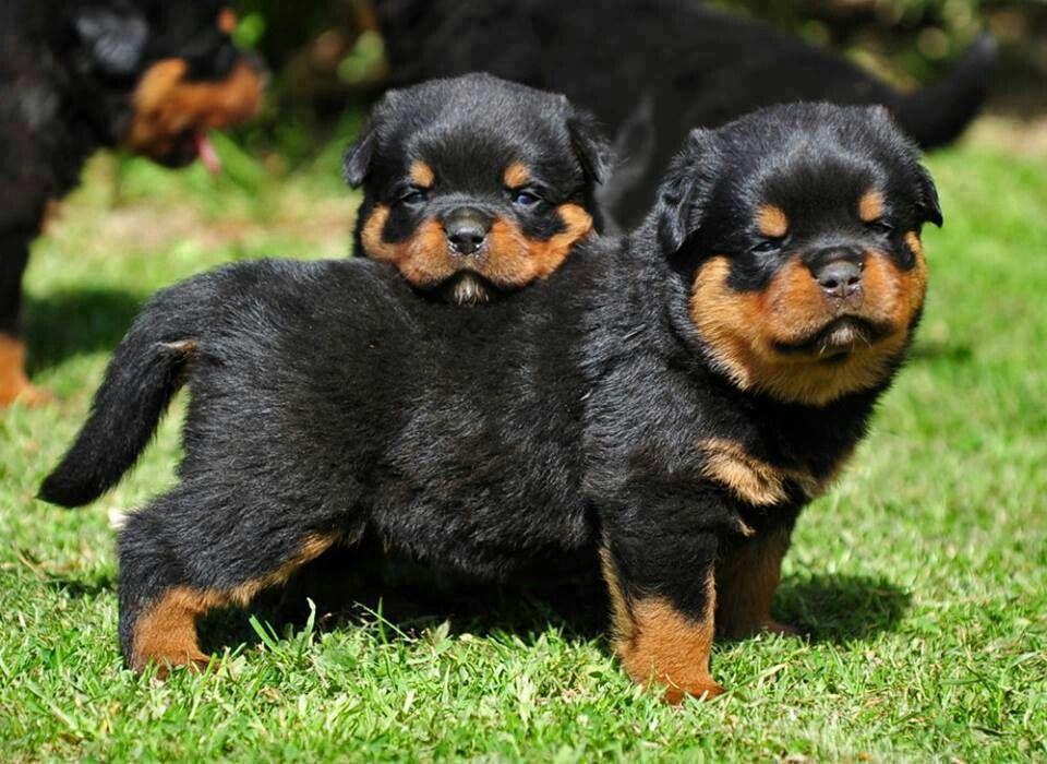 Park Art My WordPress Blog_How Much Does A Rottweiler Puppy Cost