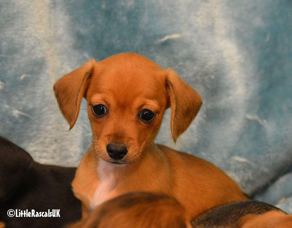 Park Art|My WordPress Blog_Chiweenie Puppies For Sale Ohio