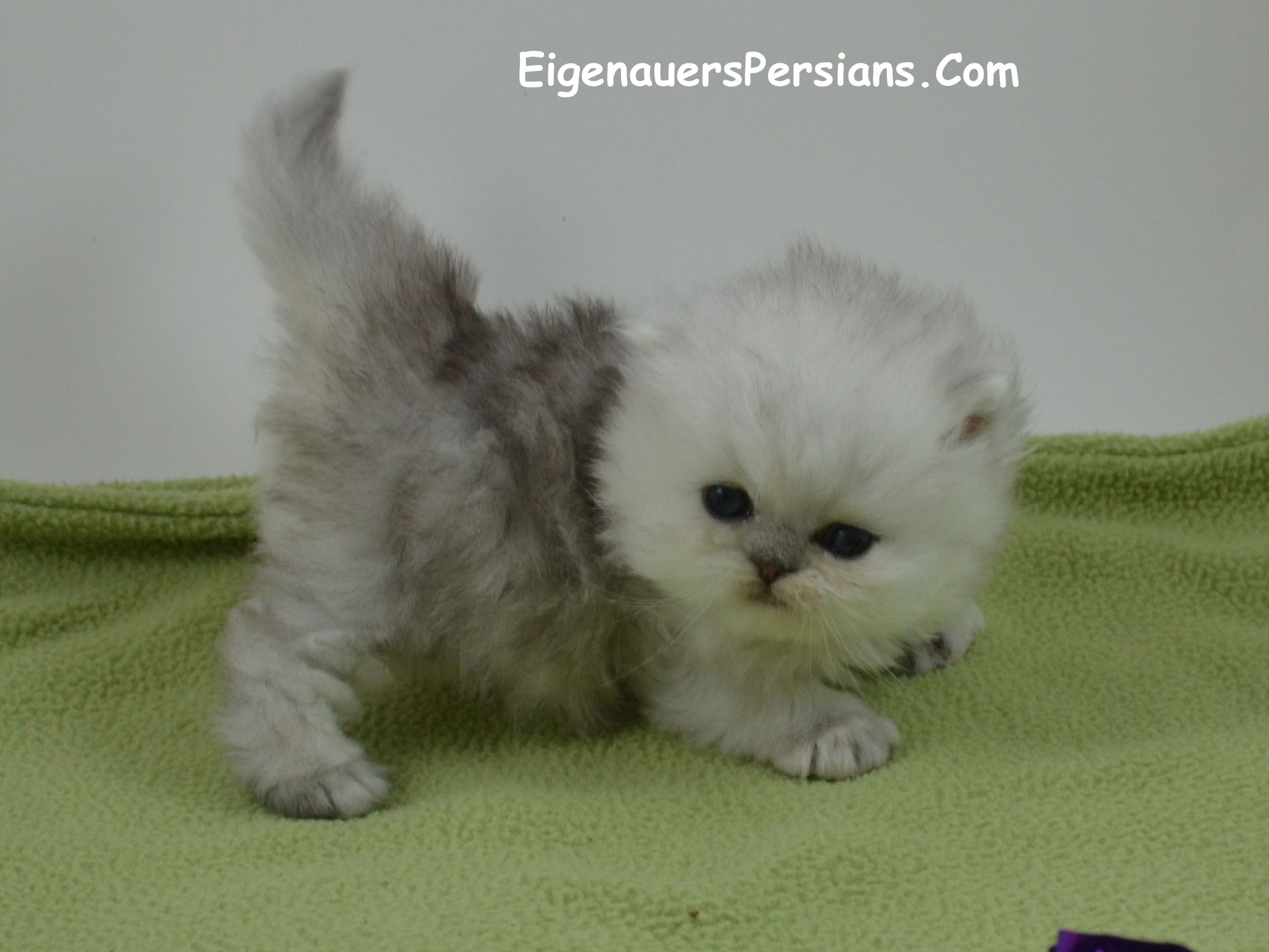 Park Art|My WordPress Blog_Persian Kittens For Sale In Cincinnati Ohio