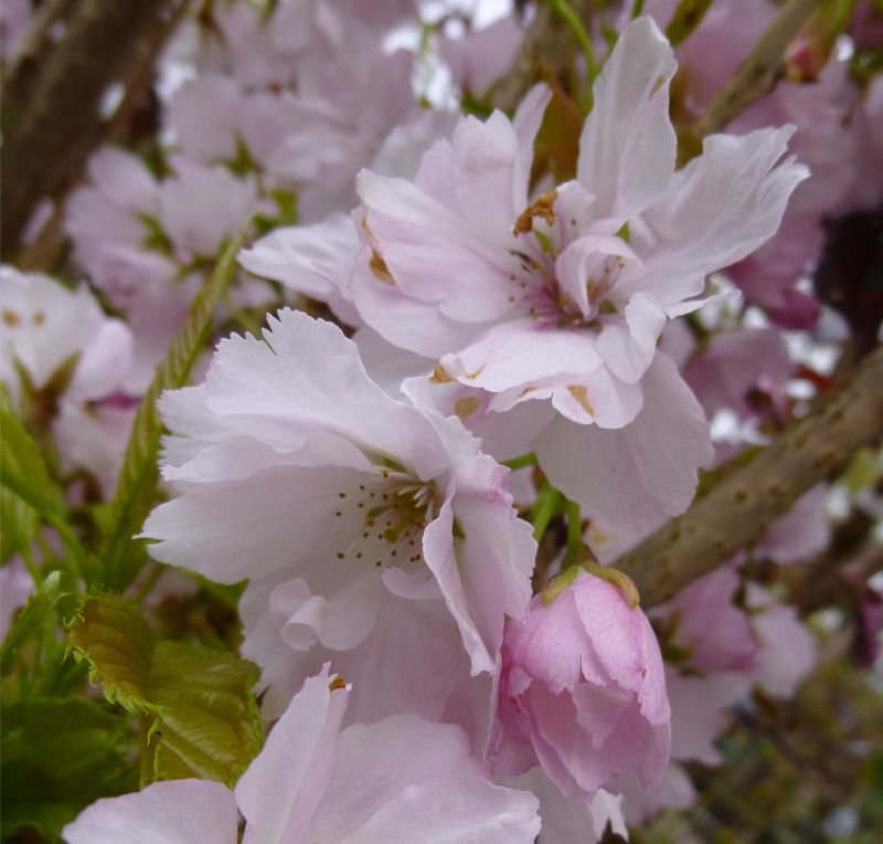 Park Art|My WordPress Blog_Japanese Flagpole Flowering Cherry Tree For Sale