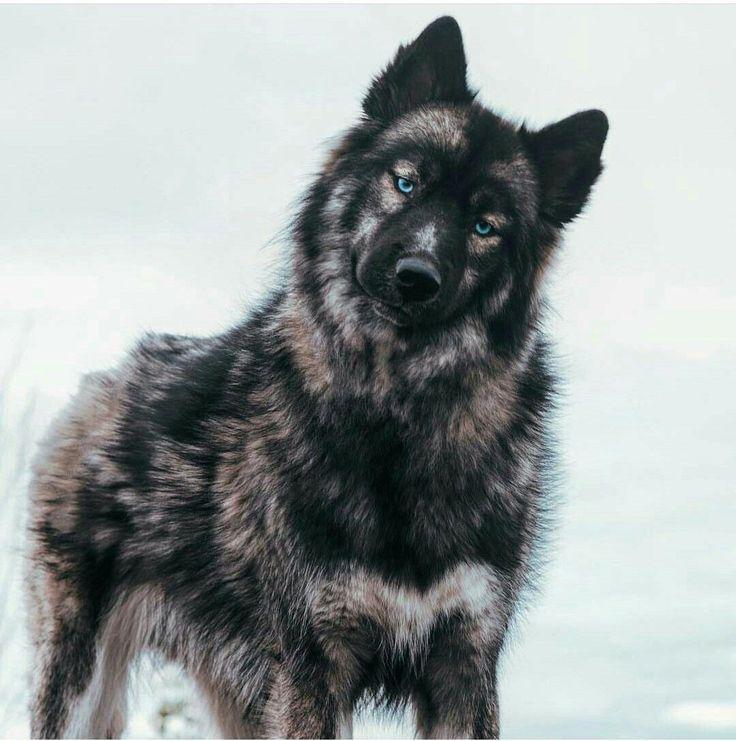 Park Art|My WordPress Blog_Agouti Husky Puppies For Sale In Illinois