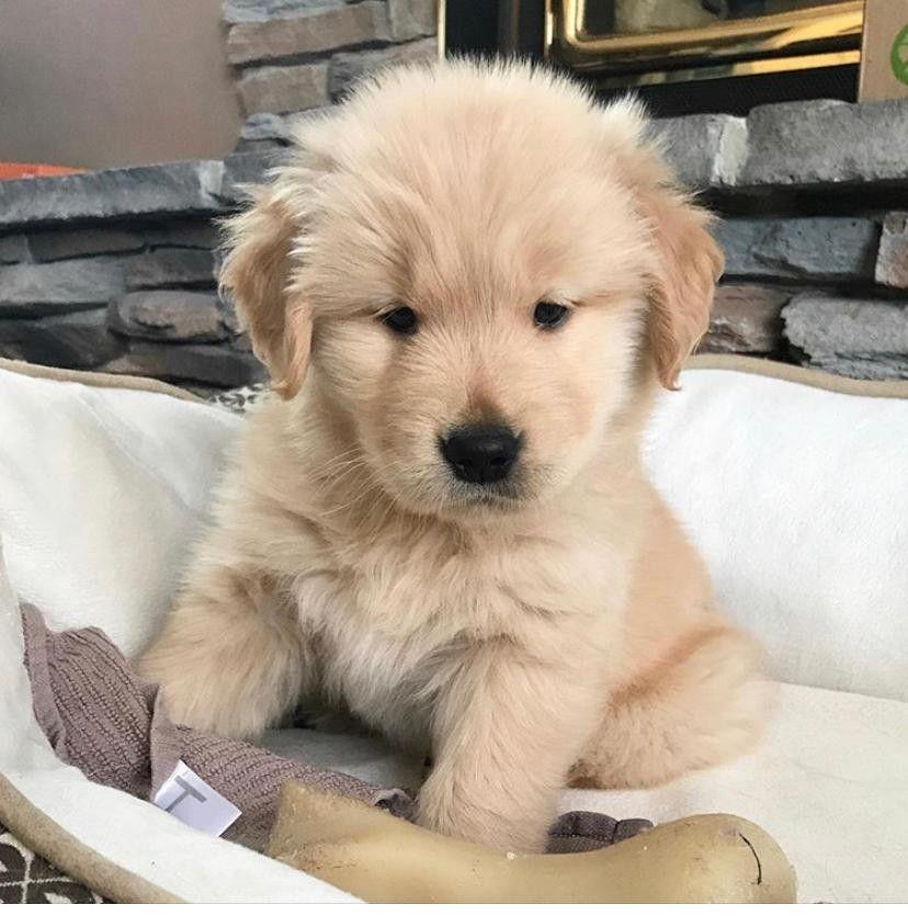 Park Art My WordPress Blog_Golden Retriever Puppies For Sale In Miami Florida